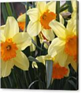 Narcissus Fortissimo Canvas Print
