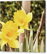 Narcissus Of A Plant Canvas Print