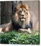 National Zoo - Luke - African Lion Canvas Print