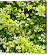 Natural Background With Small Yellow Green Leaves. Canvas Print