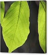 Natural Neon Green Leaves Canvas Print