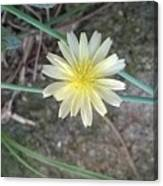 Natural... White And Yellow Flower Canvas Print