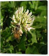 Nature In The Wild - Clover Honey Canvas Print
