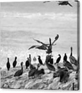 Nature Pelicans Rock  Canvas Print
