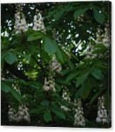 nature Ukraine blooming chestnuts Canvas Print