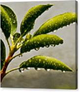 Early Morning Raindrops Canvas Print