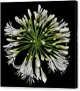 Natures Fireworks - Lily Of The Nile 005 Canvas Print