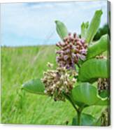 Nebraska Milkweed Canvas Print