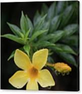 Nerium Oleander In The Rain Canvas Print