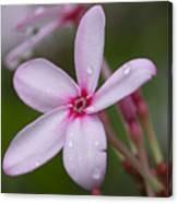 Nerium Oleander, Sri Lanka Canvas Print