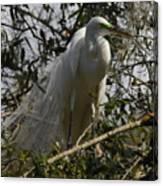 Nesting Egret Canvas Print