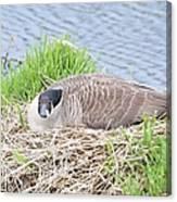 Nesting Goose Canvas Print