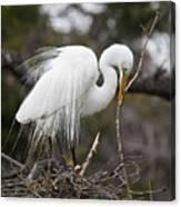 Nesting Great Egret Canvas Print