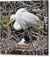 Nesting Great Egret With Chick Canvas Print