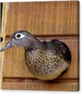 Nesting Hen Wood Duck 1 Canvas Print