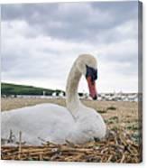 Nesting Mute Swan At Abbotsbury Canvas Print