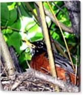 Nesting Robin Canvas Print