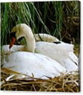 Nesting Swans Canvas Print