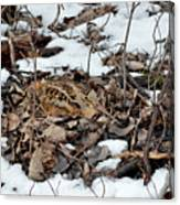 Nesting Woodcock She Survived Her Eggs From The Snow Canvas Print