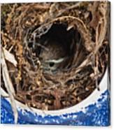 Nesting Wren Canvas Print