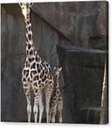 New Baby Giraffe Canvas Print
