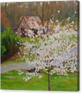 New Blossoms Old Barn Canvas Print