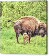 New Born Bison Canvas Print