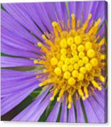 New England Aster Canvas Print
