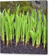 New Green Spring Shoots Canvas Print