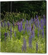 New Hampshire Lupines Canvas Print