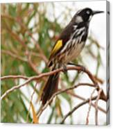 New Holland Honey-eater Canvas Print