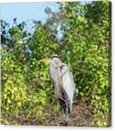 New Nest For Great Blue Heron Canvas Print