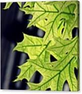 New Oak Leaves    Canvas Print