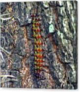 New Orleans Buck Moth Caterpillar Canvas Print