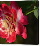 New Rose Revealed Canvas Print