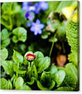 New Season For Bellis Perennis Bellissima Red Canvas Print
