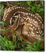 Newborn Fawn Canvas Print