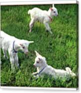Newborn Goats Canvas Print