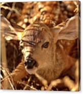 Newly Born Fawn Hiding In A Saskatchewan Field Canvas Print