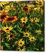 Nice Close Up Of Black Eyed Susans In Nature Canvas Print