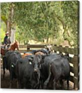 Nick Loading Cattle Canvas Print