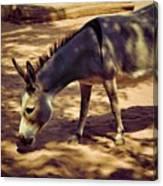 Nigerian Donkey Canvas Print