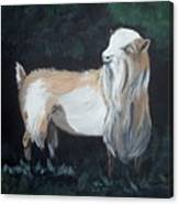 Nigerian Dwarf Buck Canvas Print