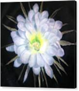 Night Bloomig Cerus Canvas Print