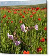 Night Flowering Catchfly And Poppies Canvas Print