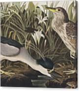 Night Heron Or Qua Bird Canvas Print