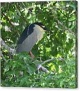 Night Heron Canvas Print