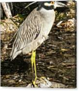 Night Heron Standing On A Rock In Key West Canvas Print