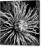 Niobe Clematis Study In Black And White Canvas Print