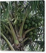 Niu Ola Hiki Coconut Palm Canvas Print